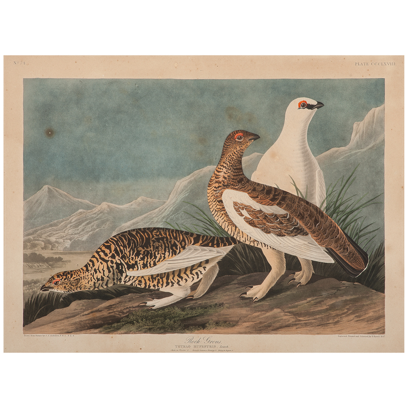 Audubon Hand-Colored Engraving, Rock Grous, Havell Edition