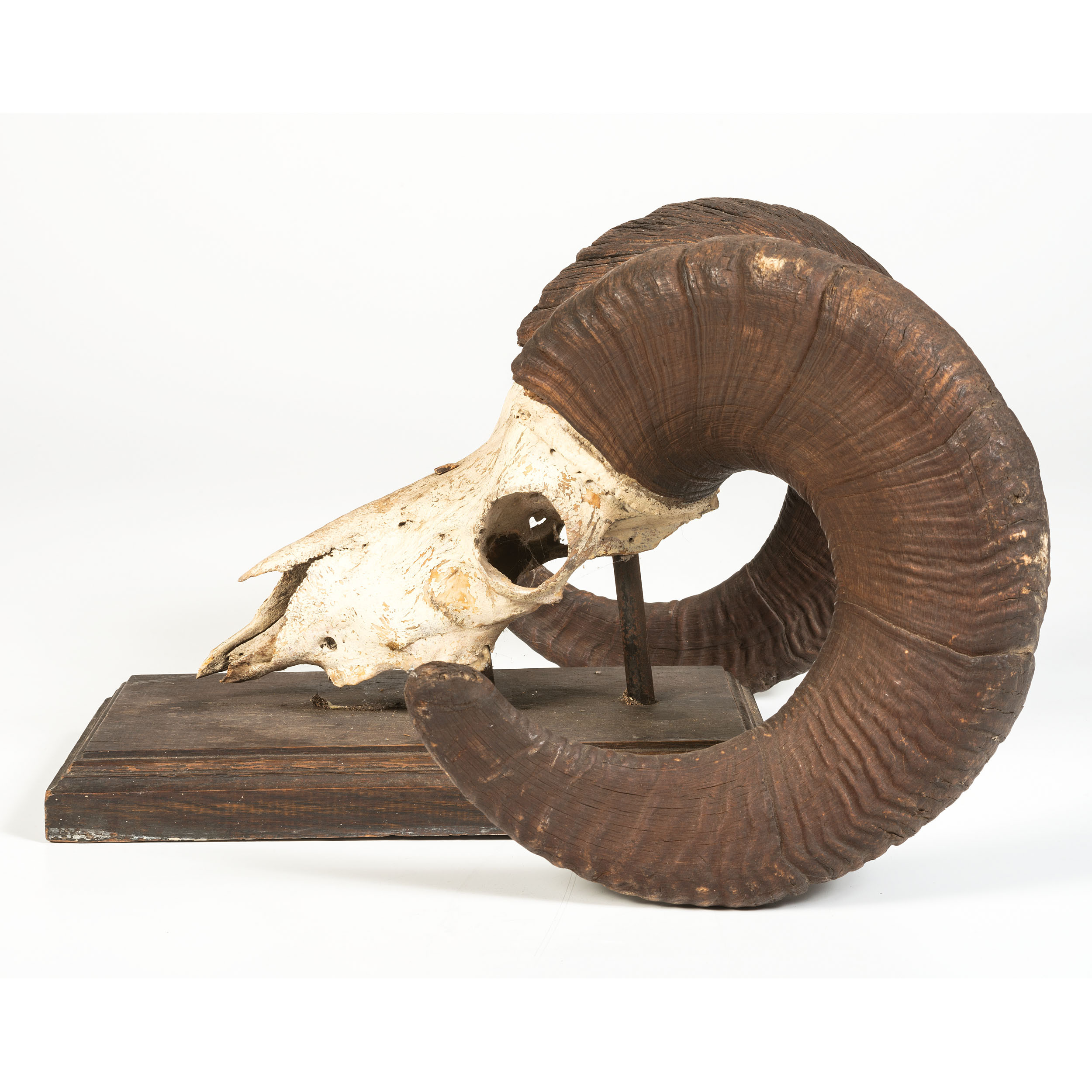 A Bighorn Sheep Skull | Cowan's Auction House: The Midwest ...
