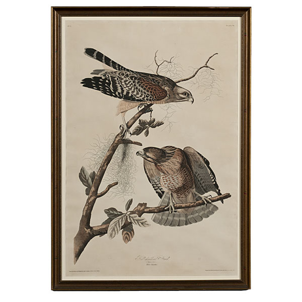 Audubon Print Red-Shouldered Hawk, Havell Edition