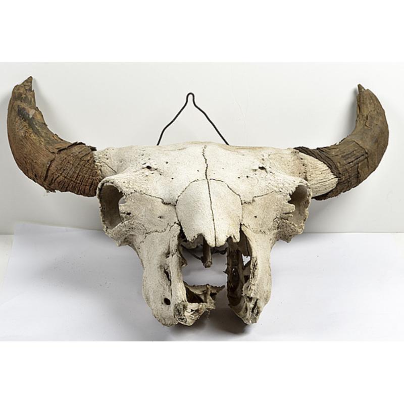 Buffalo Skull from Pinchot Ranch