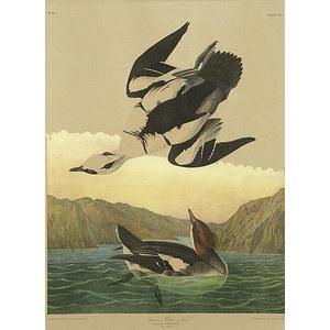 Audubon Print, Plate 414, Snow or White Nun,