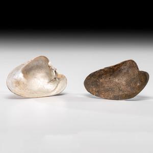Two Shell Spoons, Longest 4-1/2 in.