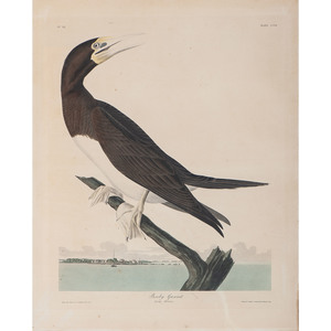 Audubon Hand-Colored Engraving, Booby Gannet, Havell Edition