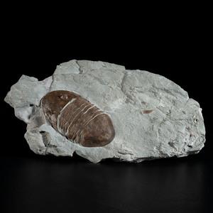 A Trilobite in Matrix