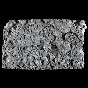 A Crinoid Plate From the Rochester Shale Formation