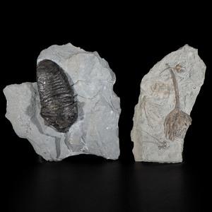 A Trilobite PLUS A Crinoid Plate