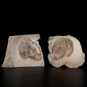 Double Trilobite Positive and Negative Plates