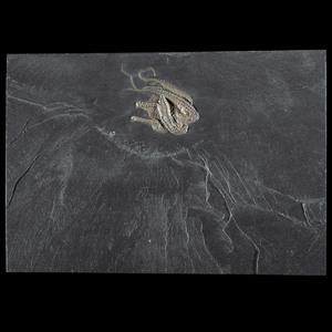 A Budenbach Starfish Plate