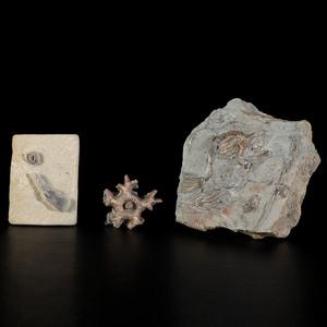 An Assortment of Crawfordsville Crinoids and Starfish