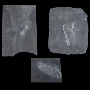 Bundenbach Starfish and Trilobite Plates