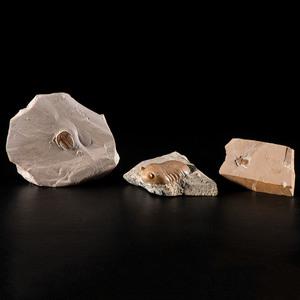 Three Trilobite Plates