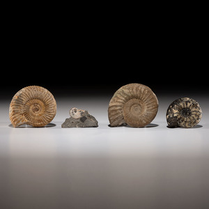 A Collection of Four Ammonites