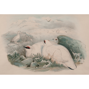 Gould, Richter, and Wolf Avian Lithographs, Plus