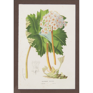Horto Van Houtteano (Belgian, 19th century) Botanical Prints, Plus