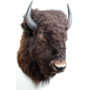 American Bison Trophy Mount