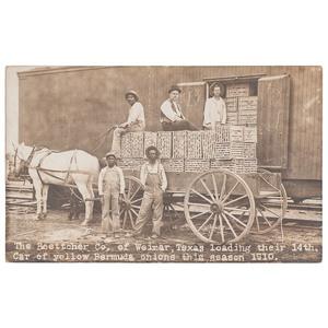 Loading Bermuda Onions in Texas, Real Photo Postcard, 1910