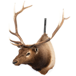 An Elk Shoulder Mount