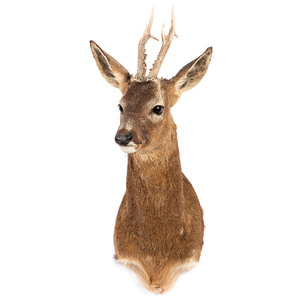 A Roe Deer Mount