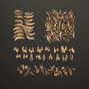 A Group of 158 Drilled Animal Teeth, Average Length 1 in.