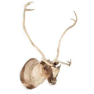 A Taxidermy Caribou Shoulder Mount